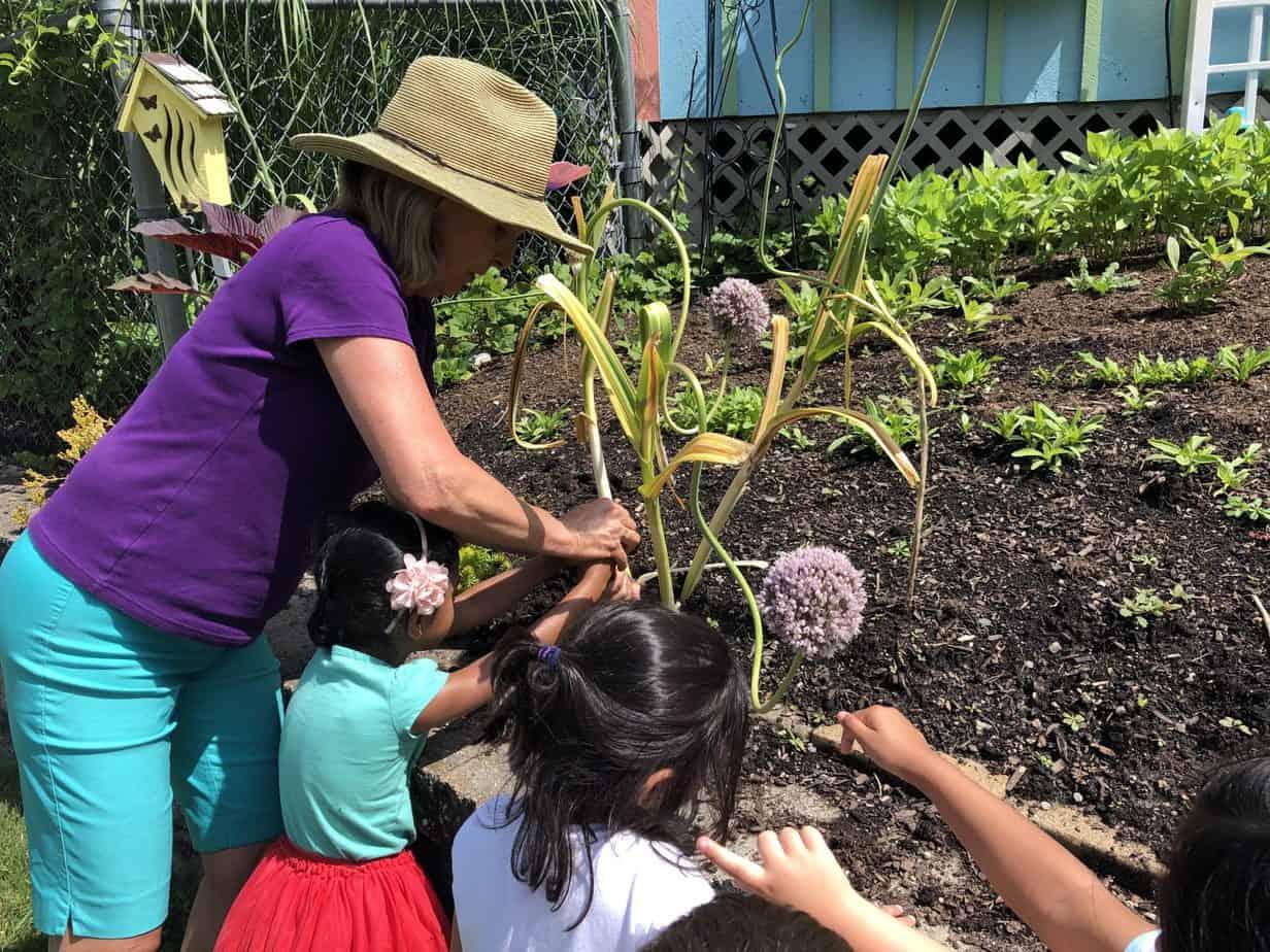 Summer Harvesting garlic